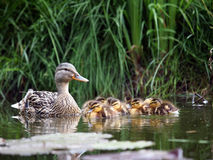 Mother duck with her ducklings. In the water Royalty Free Stock Image