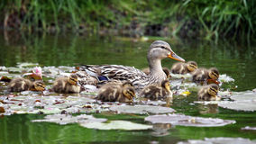 Mother duck with her ducklings. In the water Royalty Free Stock Images