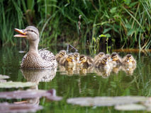 Mother duck with her ducklings. In the water Stock Photo
