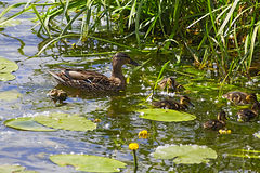 Mother duck with her ducklings in the water Stock Image