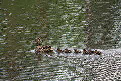 Mother Duck with her newborn offspring swimming in a pond. Animals Stock Images