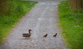 Mother duck and her two ducklings. Mother duck walking with her two ducklings Stock Photos