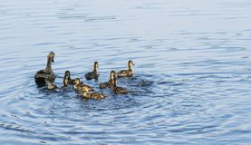 Female mallard duck with duckling chicks in water. A mother duck and her young ducklings in a pond swimming together in the sunshine royalty free stock photos
