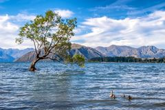 A mother duck leads her ducklings towards the famous Wanaka Tree in New Zealand. The view is beautiful. One can enjoy great. Weather, blue sky, white clouds royalty free stock photos