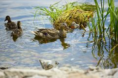 Mother duck with little baby ducks swiming in pond Royalty Free Stock Photos