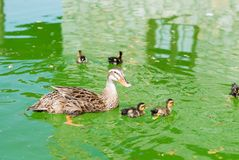 Mother duck with little chickens. Lake view, reflections Royalty Free Stock Photography