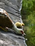 Mother duck and little duckling drinking water Royalty Free Stock Photos