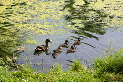 Mother duck with little ducklings swimming in a pond on a Sunny summer day. Royalty Free Stock Photo