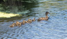 Mother Duck Royalty Free Stock Photos