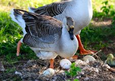 A Mother Duck With Only One Foot Protects Her Eggs. Despite the use of only one foot a Mother Duck stands her ground and protects her eggs Stock Images