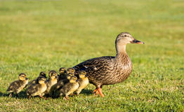 Mother Duck. One mother duck with her 10 young ducklings going of a walk Stock Photos