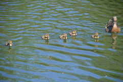 Mother duck out with ducklings. Mother mallard swimming with ducklings Stock Photo