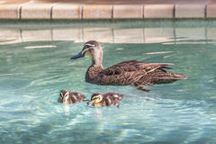Mother Duck paddling in a pool. Mother duck is watching over her baby ducks in a pool Royalty Free Stock Images