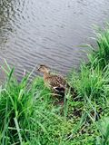 Mother duck. Pond summer baby Stock Photos