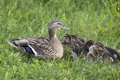Mother duck protects her ducklings Stock Images