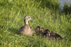 Mother duck protects her ducklings Royalty Free Stock Image
