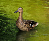 Mother duck. Scaning around for safety stock photo
