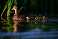 Female Mallard Duck with Ducklings. A mother duck is seen on reflective blue water in front of pretty green reeds with her four cute duckling behind her Royalty Free Stock Image