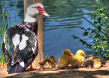 Mother duck and several small ducklings, Spain. Mother duck and several small ducklings Royalty Free Stock Photography