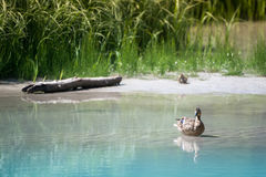 Mother duck sits in water while baby waits in grass. On sandbank Royalty Free Stock Photo
