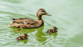 Mother Duck With Small Ducklings. On Water Stock Photography