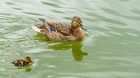 Mother Duck With Small Ducklings. On Water Royalty Free Stock Photo