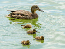 Mother Duck With Small Ducklings. On Water Stock Photo