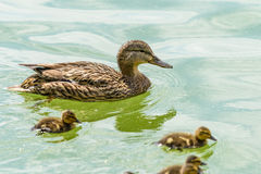 Mother Duck With Small Ducklings. On Water Stock Images