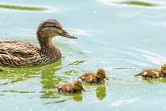 Mother Duck With Small Ducklings. On Water Royalty Free Stock Image
