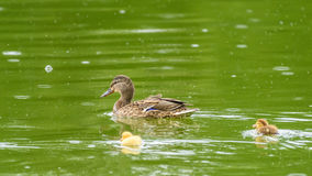 Mother Duck With Small Ducklings. On Water Stock Photos