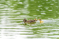 Mother Duck With Small Ducklings. On Water Stock Image