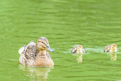 Mother Duck With Small Ducklings. On Water Royalty Free Stock Photography