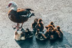 A mother duck standing next to her many fluffy baby ducklings. On asphalt during sunrise stock photography
