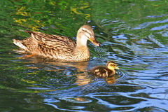 Mother duck swimming with baby Royalty Free Stock Photo