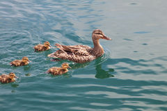 Mother duck swimming with family of ducklings. Mother duck swims on the water with her fuzzy ducklings following behind her stock image