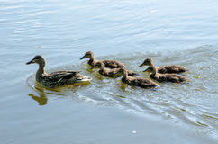 Mother duck swimming with her toddler babies Royalty Free Stock Photography