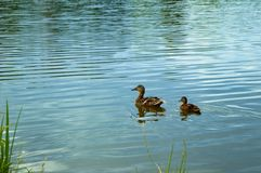 Mother duck is swimming in the lake with her cubs. Mother duck is swimming in the lake a short distance from the shore with her cubs stock photo