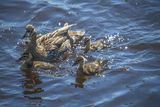 Mother duck with their ducklings Royalty Free Stock Photo