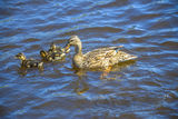 Mother duck with their ducklings Royalty Free Stock Image