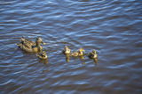 Mother duck with their ducklings Stock Image
