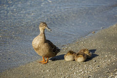 Mother duck with three ducklings. Resting beside lake Royalty Free Stock Images