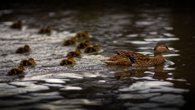 Mother Duck With Twelve Ducklings Royalty Free Stock Images