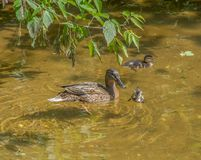 Mother duck with two ducklings swim and dive in shallow clear water under a tree branch. Moscow. Russia stock photography