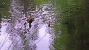 Mother duck and two ducklings swim forward. Mother duck and two ducklings swim in pacific northwest lake stock video footage