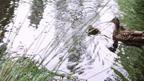 Slow mothion mother duck and ducklings. Mother duck and two ducklings swim in pacific northwest lake stock video