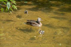 Mother duck with two ducklings swim in shallow clear water under a tree branch. Russia. Moscow stock images