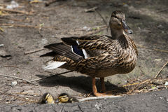 The mother duck and two small duckling royalty free stock photo