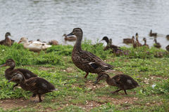 Mother duck walking with her ducklings beside the pond. On a sunny day Royalty Free Stock Photo