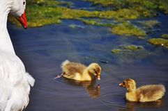 Duck family. Mother duck watching her two babies swimming stock photography