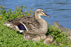 Mother duck with young ducklings by pond Royalty Free Stock Images